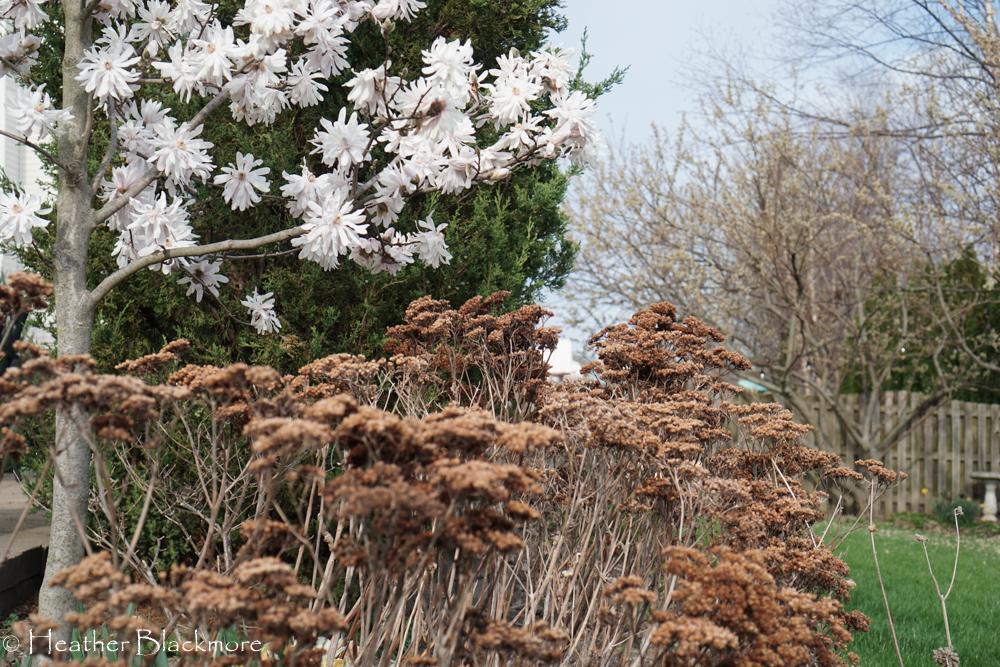 Matrona sedum and Centennial Blush Magnolia