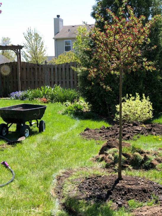 planted bareroot tree