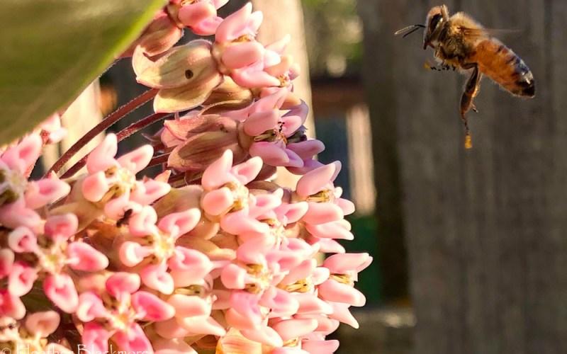 Honeybee flying to milkweed flower