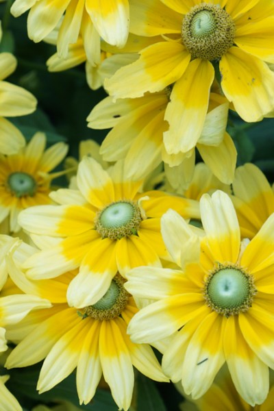 Black-Eyed Susan is the Perfect Late Summer Bloomer