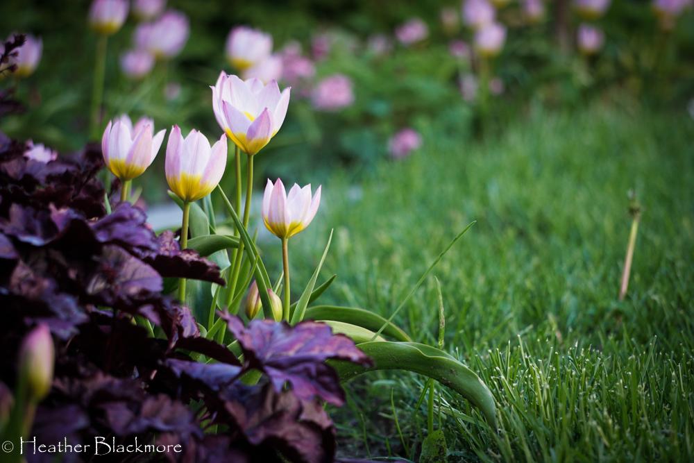 species tulips with heuchera