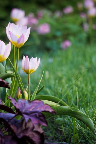 The Verdict Is In on Species Tulips