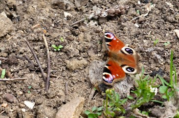 Peacock Butterfly on the Nunckley Trail