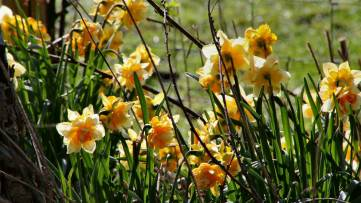 Daffodils on Nunckley Trail