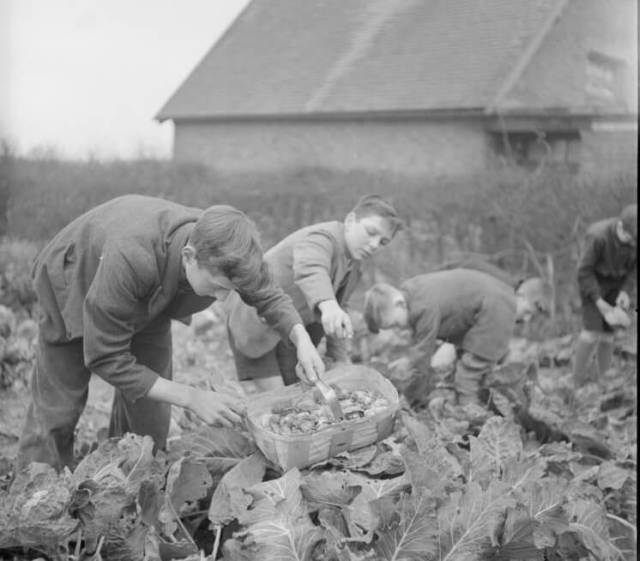 Boys from Knighton-on-Teme School, Worcestershire, pick vegetables