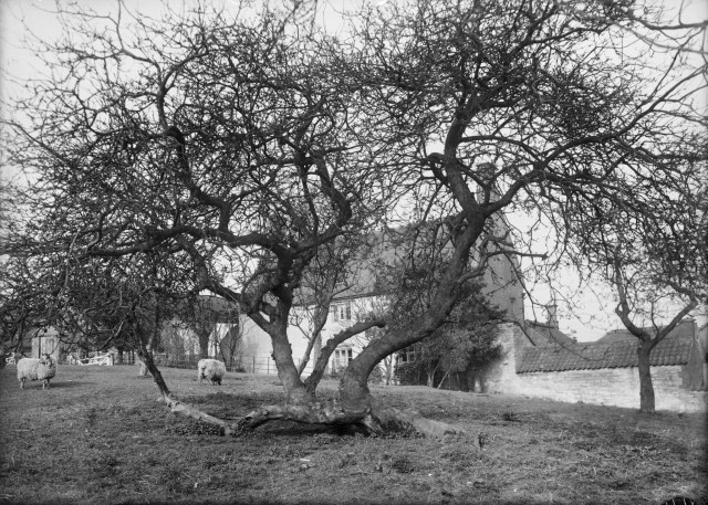 The apple tree at Woolsthorpe Manor in Lincolnshire, where Sir Isaac Newton was born and where he developed his theory on gravity. Copyright: Historic England Archive. Ref: BB7908410