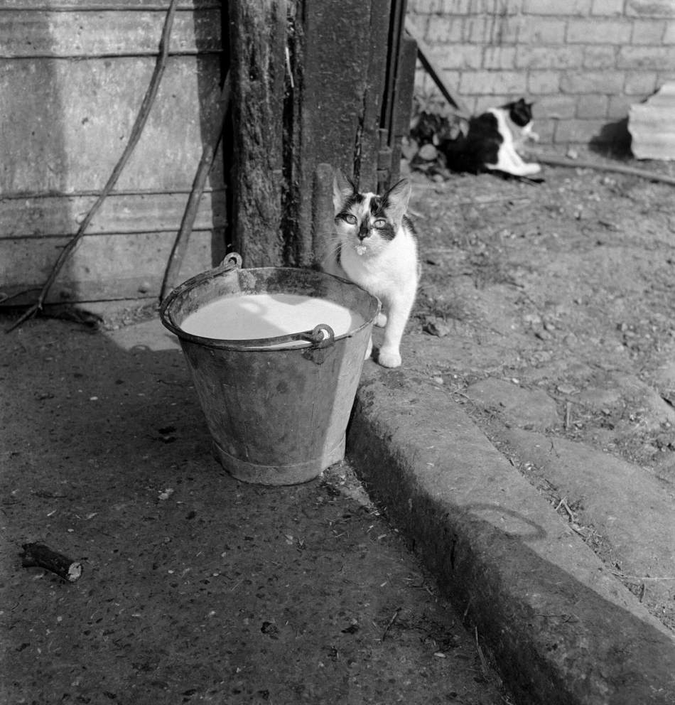 A cat with a milky tongue beside a pail of milk, 1950s - 1960s