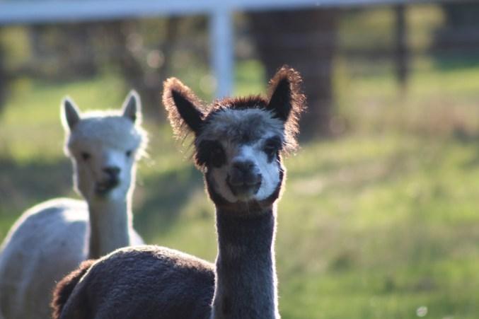 Heritage Farm - alpacas