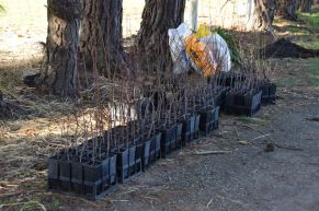 Learn to graft fruit trees