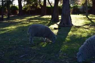 Rams at Heritage Farm