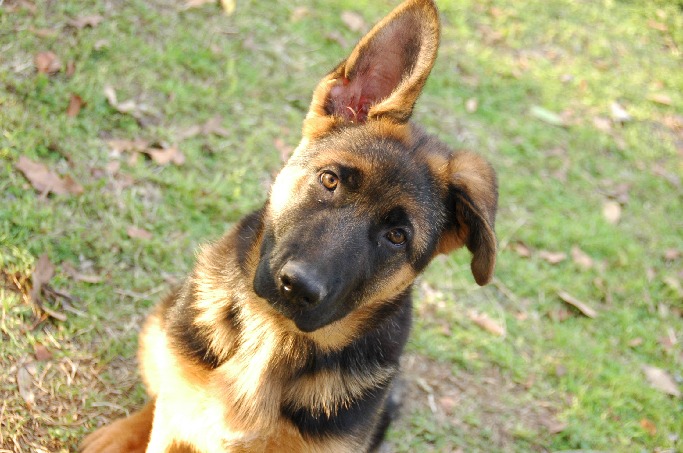 Heritage Hills Ranch - German Shepherd Breeder - Quality