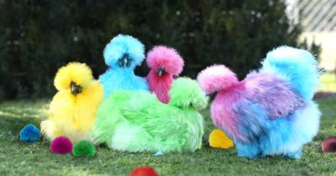 Top nine Images of Silky Chickens