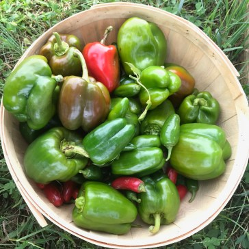 bountiful pepper harvest