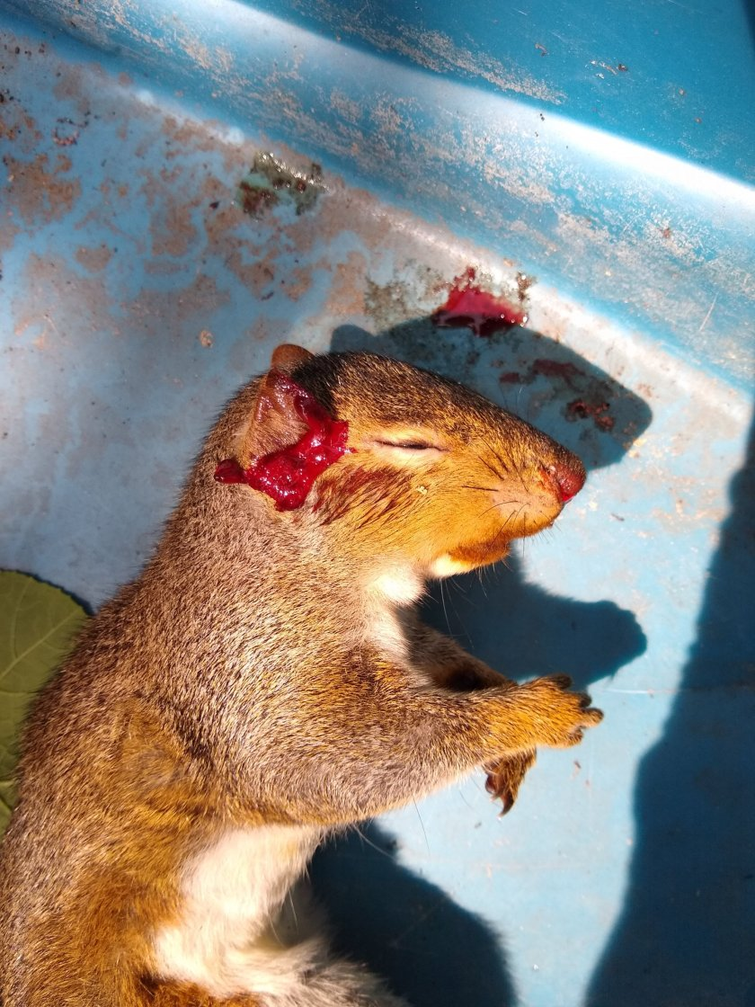 A sad small death in Herkimer: a handsome young squirrel killed by local gang filth and dumped in our driveway.