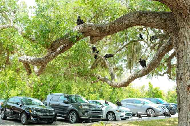 Vultures at the trailhead in Everglades National Park parking area. This National Park Guide will tell you everything you need to know about your first visit   herlifeadventures.blog   #everglades #nationalpark #florida #travel #destinations