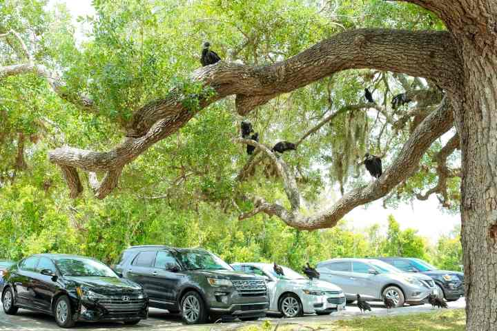 Vultures at the trailhead in Everglades National Park parking area. This National Park Guide will tell you everything you need to know about your first visit | herlifeadventures.blog | #everglades #nationalpark #florida #travel #destinations
