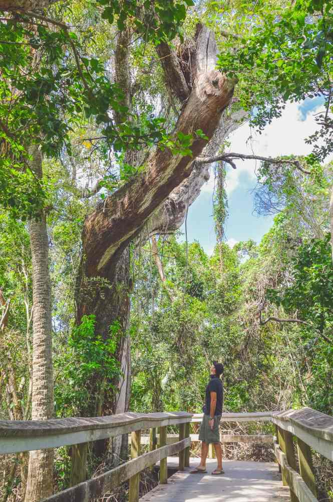 Mahogany Hammock Trail Everglades National Park. This guide will tell you everything you need to know about your first visit   herlifeadventures.blog   #everglades #nationalpark #florida #travel #destinations
