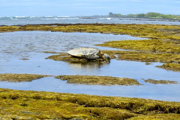Watch the sea turtles at Pu'uhonua O Hōnaunau National Historical Park on the Big Island of Hawai'i