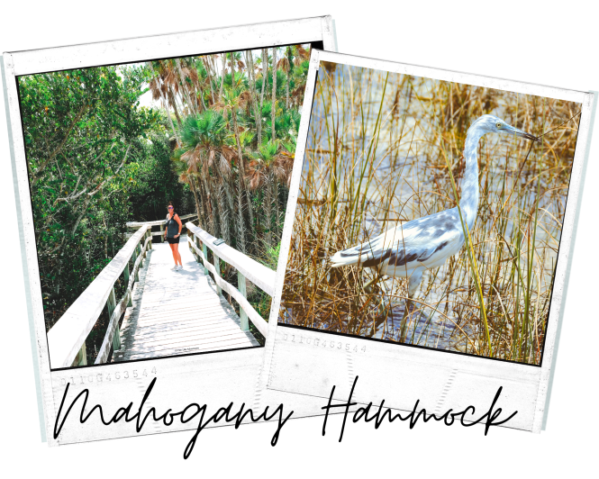 the Best #Hikes in #Everglades National Park Go #Hiking and explore the diverse ecosystems while you watch for alligators and other wildlife! #nationalpark #adventure #best #thingstodo #anhinga #trail #pinelands #mahogany #hammock
