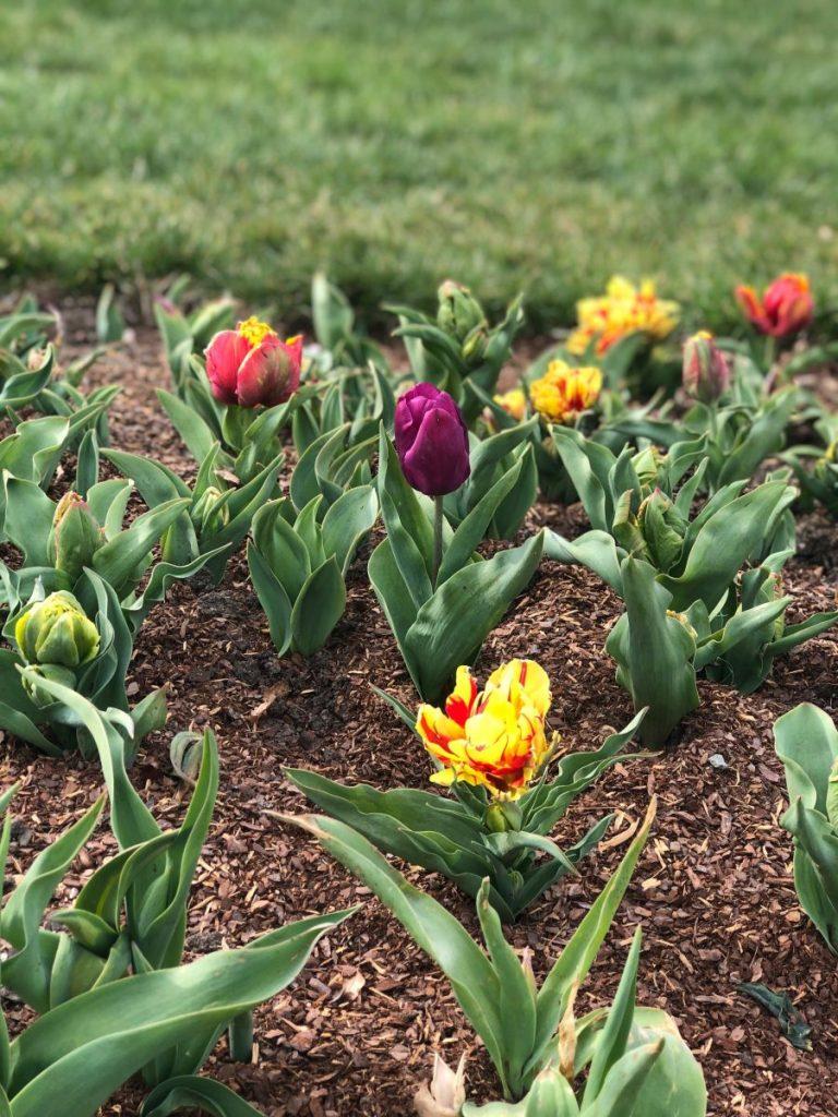 Tulips at Cheekwood in Bloom | Her Life in Ruins
