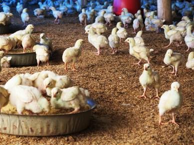 Granja de pollos 4