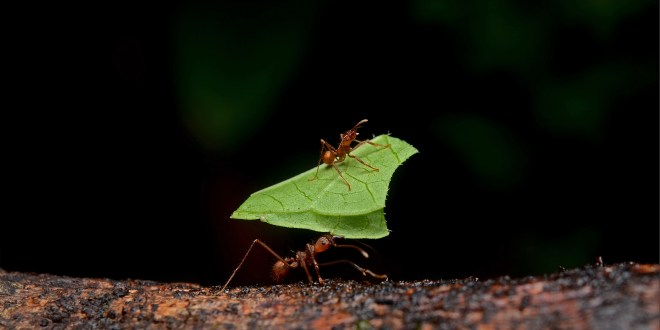 Leafcutter_ants