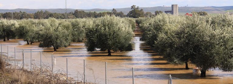 Olivar inundado (1)
