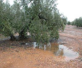 Olivar inundado (5)