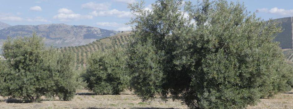 olivar-tradicional