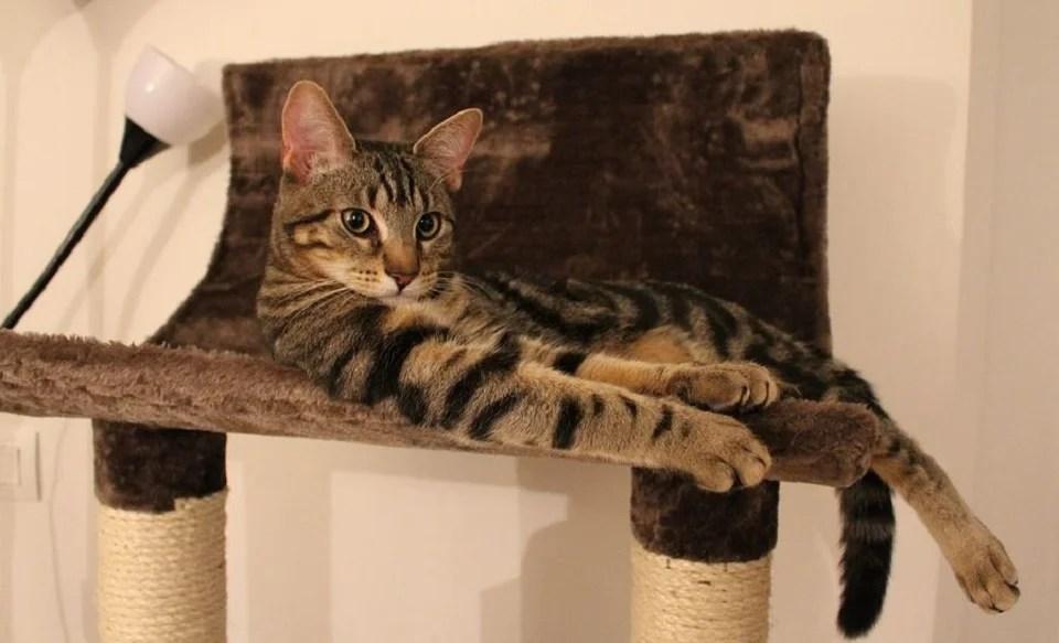 Chat tigré sur son arbre à chat
