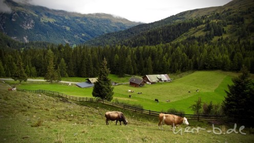 Kühe auf dem Weg Richtung Südtirol.