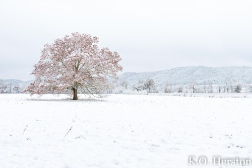 The Tree in Cades Cove
