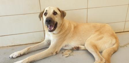 יוני מחייך. כלב רועה טורקי מעורב לאימוץ מכלביית הרצליה.