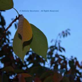 The Last Leaves © Stefanie Neumann - All Rights Reserved.