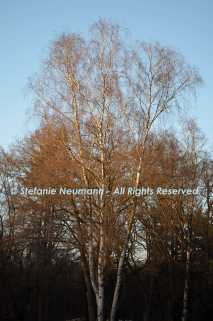 Birch Tree © Stefanie Neumann - All Rights Reserved.