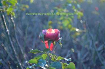 Winter Rose I © Stefanie Neumann - All Rights Reserved.