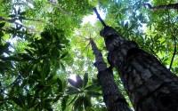 """Mangrove Canopy"" by Sigit Deni Sasmito for CIFOR"
