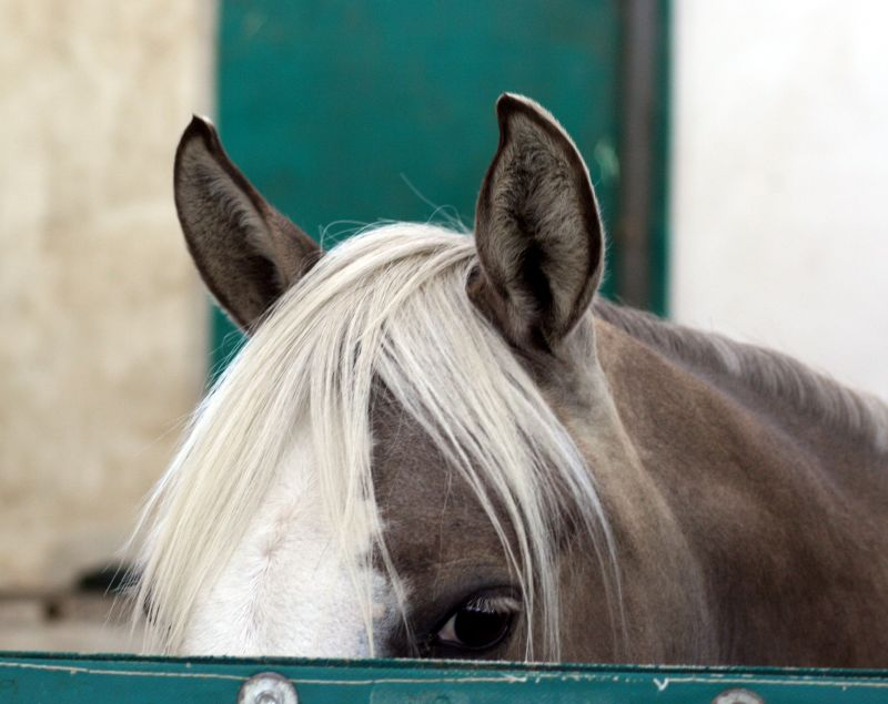 quarter_horse_pony_silver_ears
