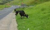 Cattle alongside the N2