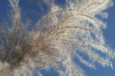 Sugar cane plumes