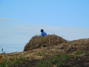 The herder is taking a break on a pile of sugar cane