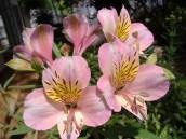 Inca Lilies