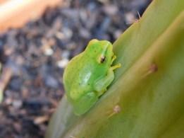 Painted reed frog KwaZulu-Natal Southcoast