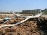 Driftwood on Hibberdene Beach, KwaZulu-Natal, RSA