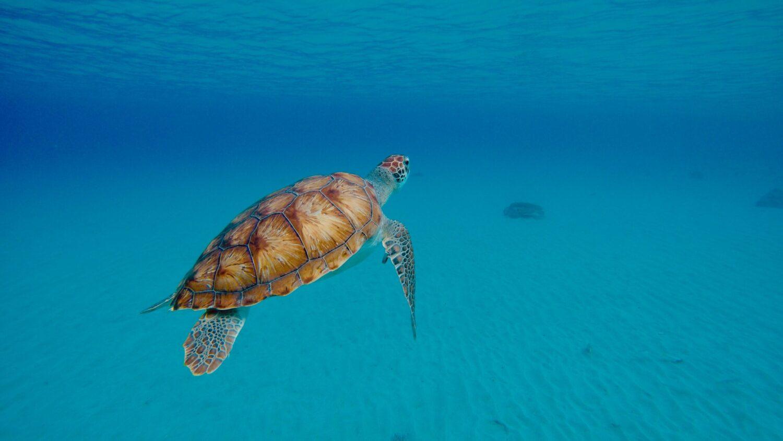 Curaçao is een walhalla om te duiken. De riffen liggen op slechts 15 meter van het strand, dus meestal duiken kan gemakkelijk vanaf de kant. Curaçao is heel bekend om zijn uitstekende duiklocaties. Curaçao is een vulkanisch eiland en vormt een pilaar in de oceaan. Dit in combinatie met het klimaat, maakt het de perfecte bestemming voor een duik vakantie. Het zicht is altijd goed en de stromingen hebben hier minimaal invloed op je duikervaring.   Klinkt ideaal, maar toch is het lastiger dan je zou denken. Er zijn namelijk zoveel mooie plekken op Curaçao om te duiken, dat het lastig kiezen is. Een aantal aanraders zijn Playa Kalki, de Directeursbaai, San Juan, de oude sleepboot Tugboat aan de zuidoost kant van de Carascabaai, het gezonken schip Superior Producer bij Double Reef en Porto Marie.