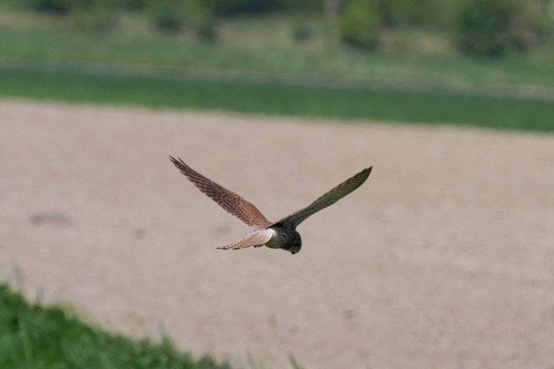 Het Gezinsleven - Uitstapjes - Natuur - De natuur in Zuid-Holland - Roofvogel