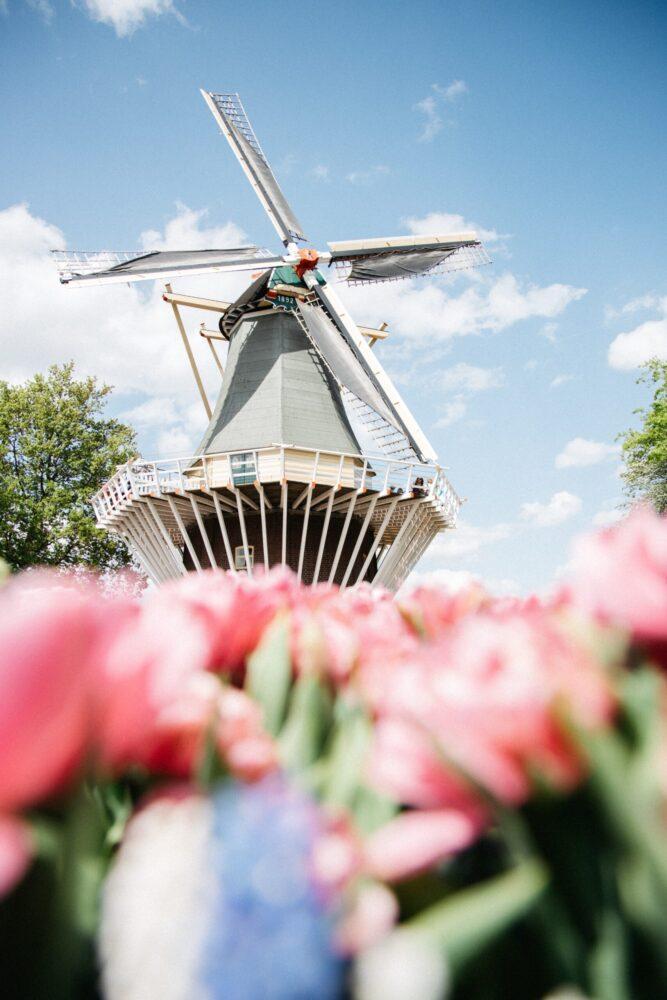 Het Gezinsleven - Uitstapjes - Bezienswaardigheden - De tulpenvelden bezoeken - Roze tulpen met een molen op de achtergrond