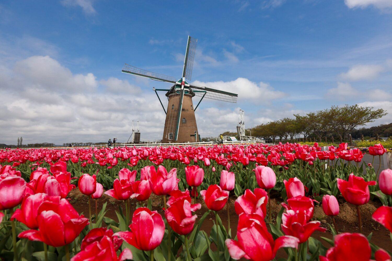 Het Gezinsleven - Uitstapjes - Bezienswaardigheden - De tulpenvelden bezoeken - Veld vol rode tulpen met een molen op de achtergrond