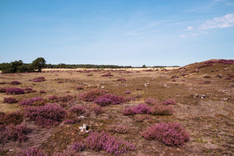 Het Gezinsleven - Uitstapjes - Natuur - Kom tot rust in de natuur in Gelderland - Heide in bloei