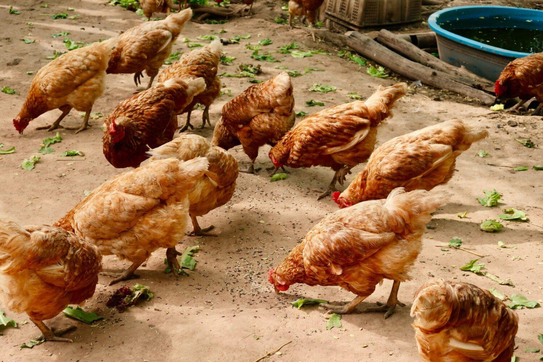 Het Gezinsleven - Lifestyle - Huishouden - Huisdieren - Hoe start ik met het houden van kippen? Alle voor- en nadelen. - Kippen eten groentes